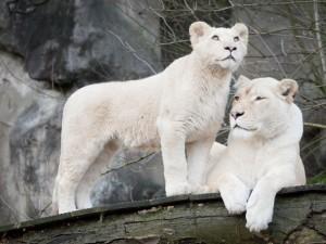 Dos majestuosos leones blancos