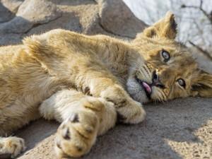 Postal: Cachorro de león descansando sobre una piedra