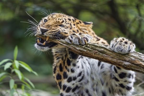 Un enfurecido leopardo mordiendo un tronco
