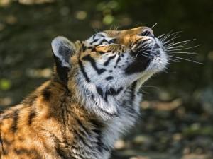 Postal: Un tigre entretenido mirando hacia arriba
