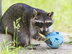 Postal: Mapache jugando con una bola celeste