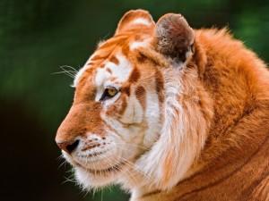 Postal: Maravilloso tigre dorado