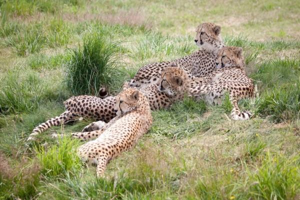 Una familia de guepardos sobre la hierba fresca