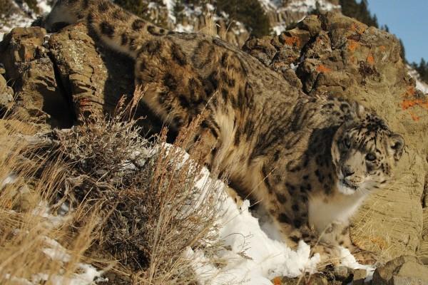 Leopardo de las nieves caminando entre las rocas nevadas