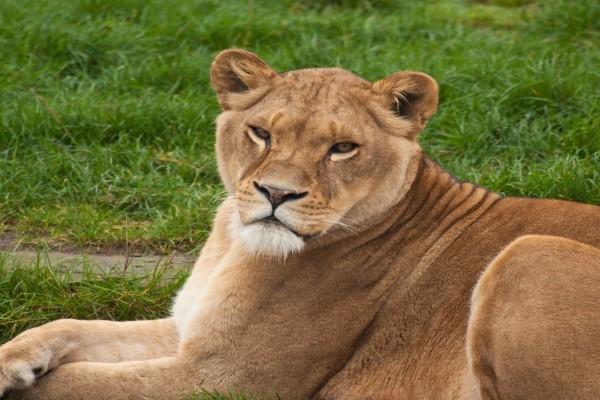 Una gran leona sentada sobre la hierba