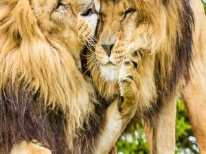 Postal: Dos leones amigos