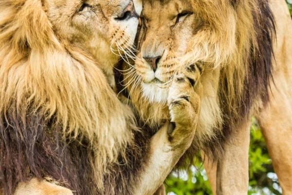 Dos leones amigos