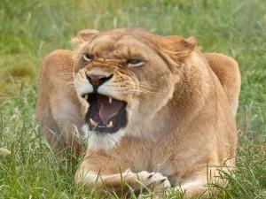 Una leona muy enojada