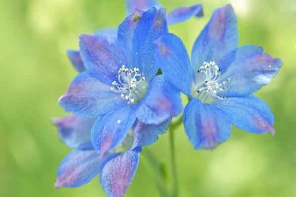 Flores azules con toques lila