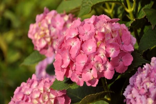 Bellas hortensias rosas en la planta