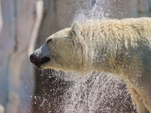 Oso polar sacudiéndose el agua