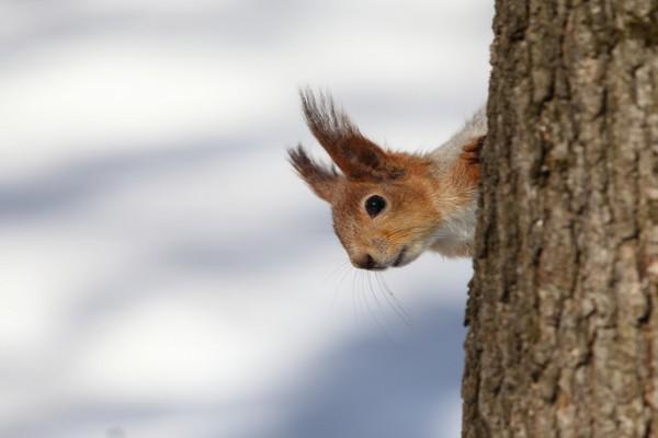 Una pícara ardilla asomándose detrás de un tronco