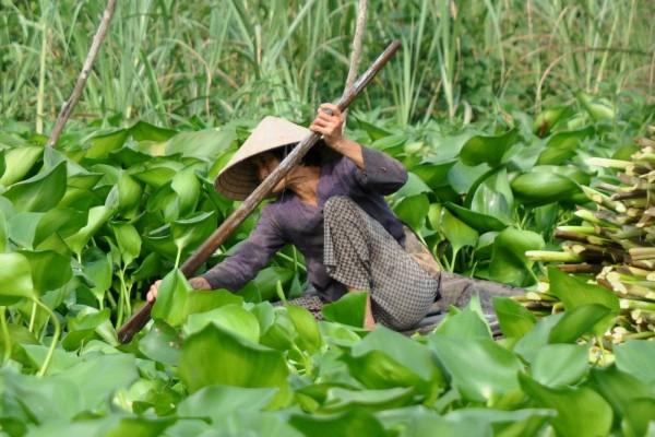 Recolección del jacinto de agua, Vietnam