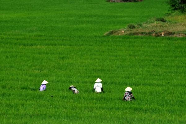 El trabajo en los campos de arroz, Vietnam