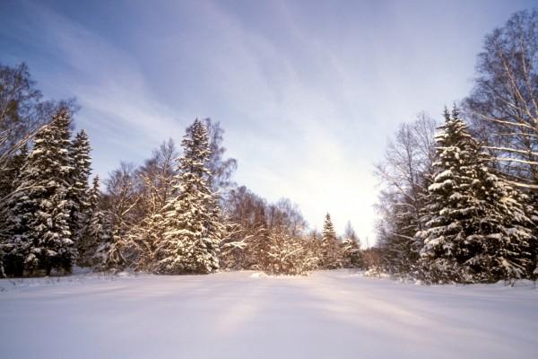 Pinos sobre un suelo cubierto de nieve