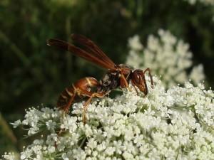 Insecto volador sobre las florecillas blancas