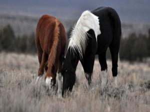 Un caballo marrón y otro negro pastando