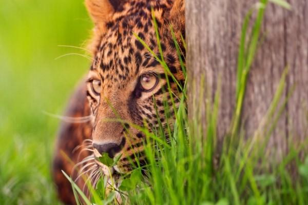 Leopardo observando detrás del árbol