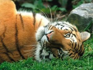 Postal: Un tigre tumbado en la hierba