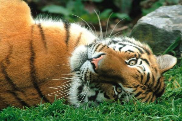 Un tigre tumbado en la hierba