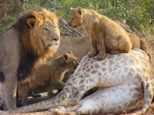 Leones comiendo una jirafa