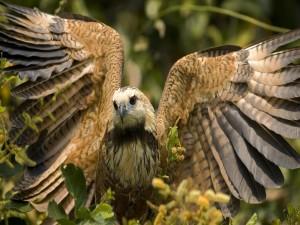 Halcón mostrando sus alas