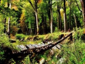 Puente de troncos derrumbado en el bosque