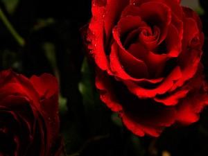 Preciosas rosas rojas con gotas de rocío