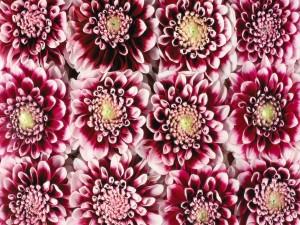 Postal: Crisantemos alineados