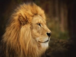 Postal: El perfil de un gran león
