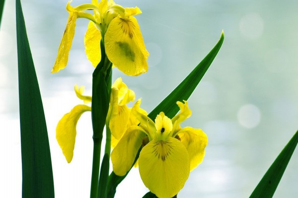Agua sobre los pétalos de las flores amarillas