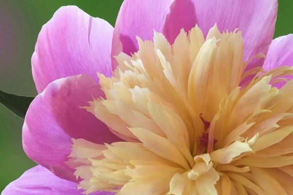 Flor con dos tipos de pétalos