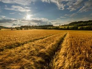 El sol brillando en el campo de trigo