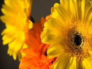 Dos gerberas amarillas y una naranja