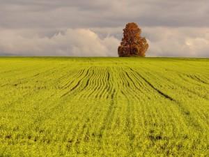 Postal: Un gran árbol en el campo verde