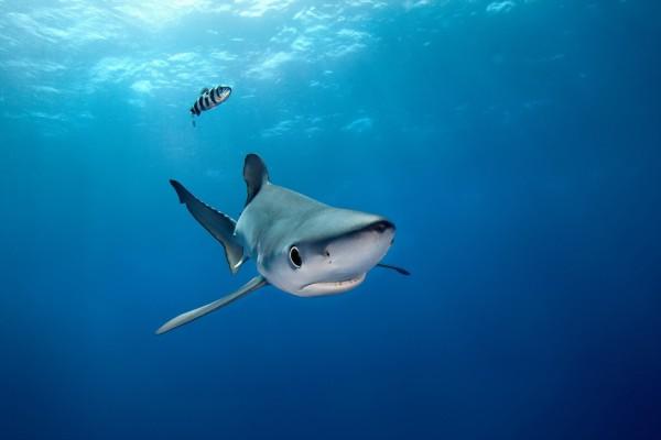 Tiburón azul y un pez a rayas