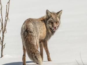Postal: Mirada atrapante de un zorro