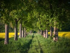 Postal: Grandes árboles verdes a lo largo del camino