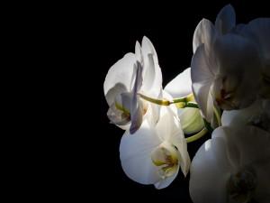 Postal: Una bella orquídea blanca