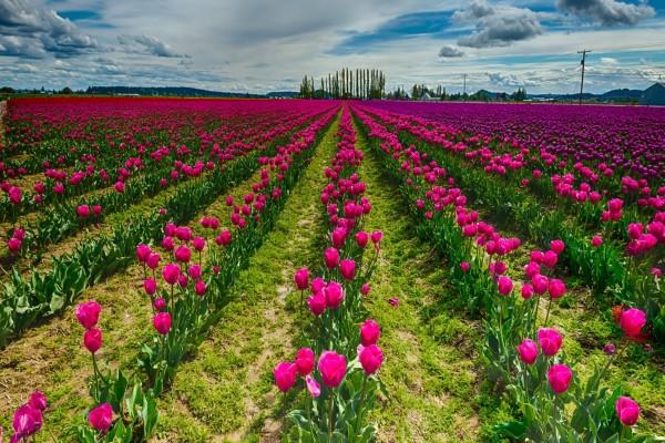 Inmenso y espectacular campo cubierto de tulipanes