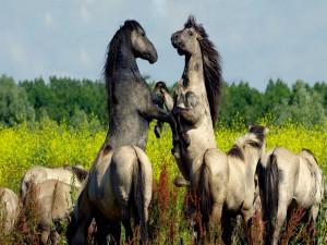 Postal: Dos caballos enfrentados entre la manada