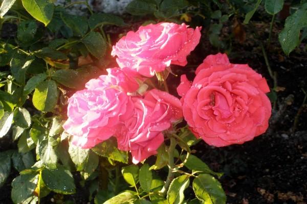 Gotas de agua sobre el rosal