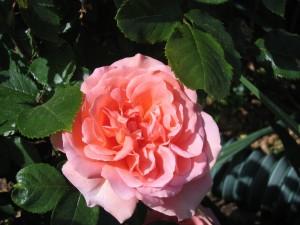Una hermosa rosa en el rosal