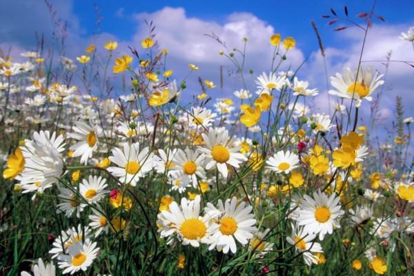 Flores amarillas y margaritas en el campo