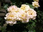 Rosal con rosas blancas abiertas