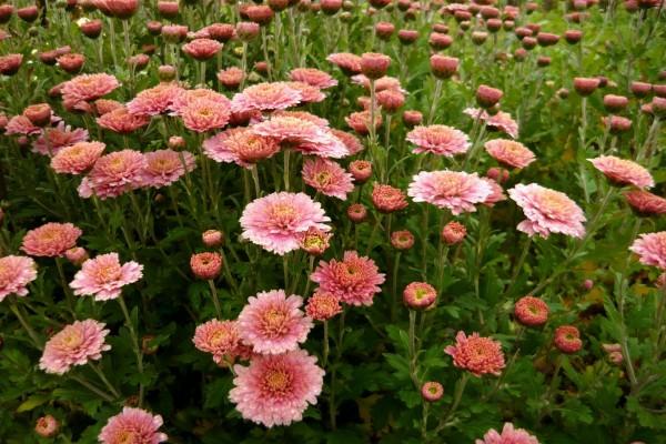 Crisantemos rosas en el campo
