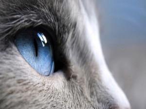 Un ojo azul del gato