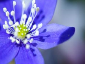 Postal: Bella flor azul con estambres blancos