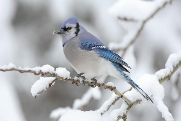 Un pájaro con nieve en el pico