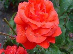 Rosa de un bonito color cubierta con gotas de agua